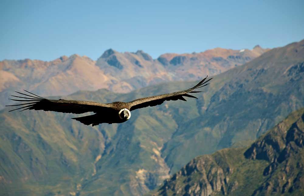 Condor: Animales nativos del Perú