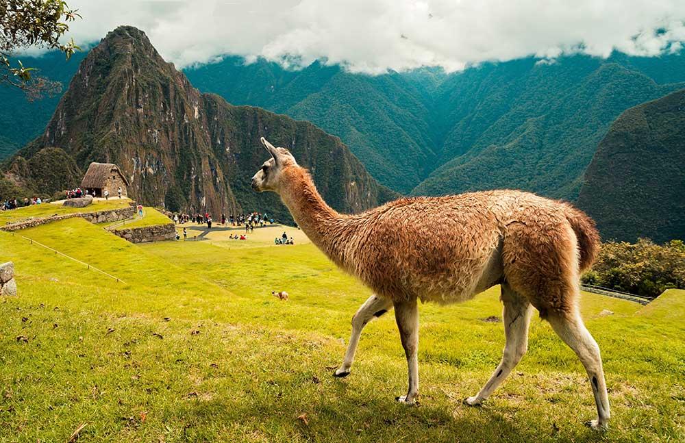 Llama: Animales nativos del Perú