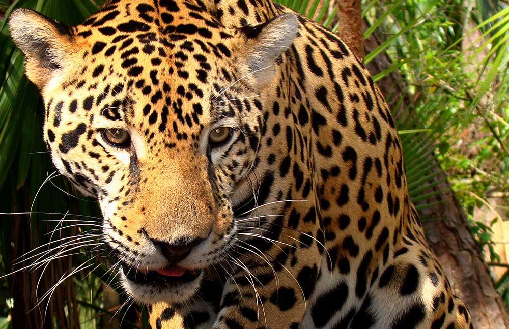 Otorongo - Jaguar: Animales nativos del Perú