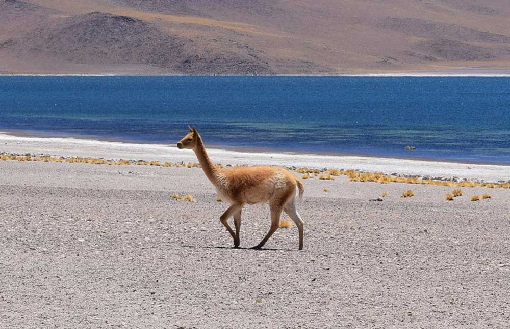 Vicuña: Animales nativos del Perú